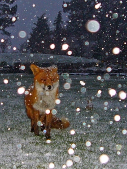 garden_fox_in_snow