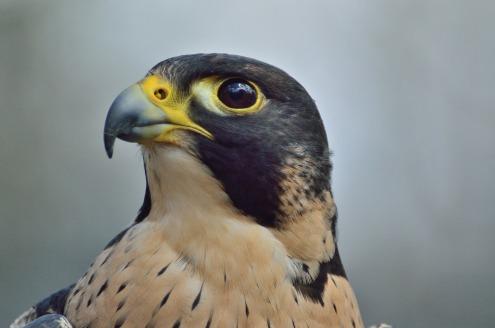 peregrine-falcon-371610_1920