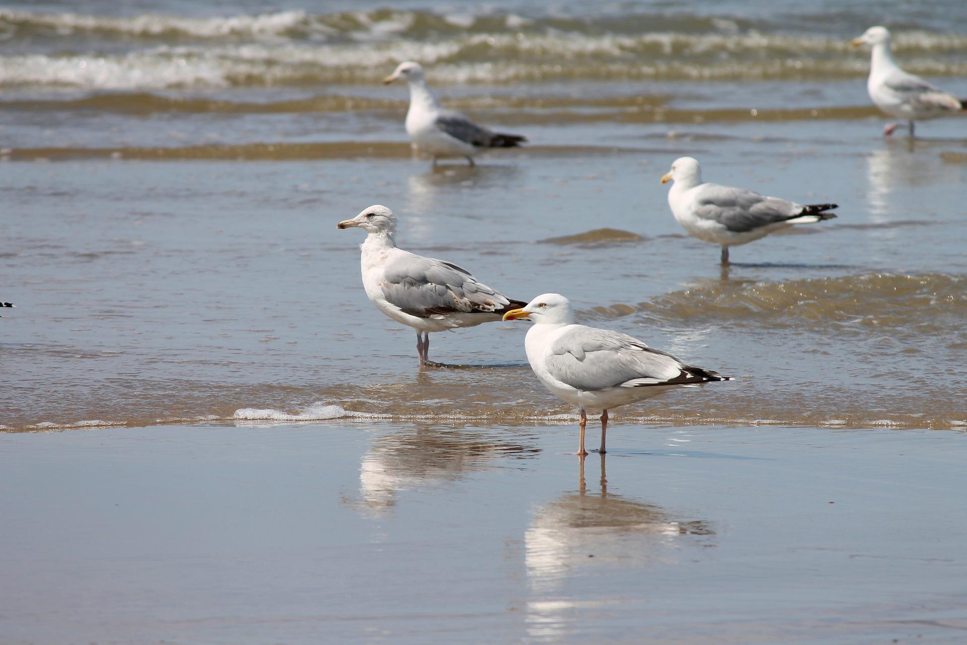 silver-gulls-4335397_1920