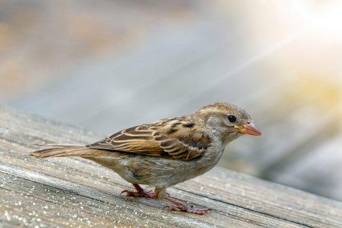sparrow-4334964_1920 (2)